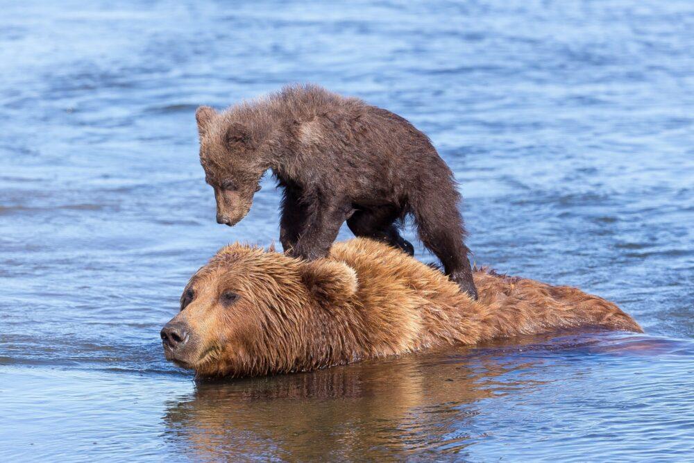 Bear surfing in Alaska.