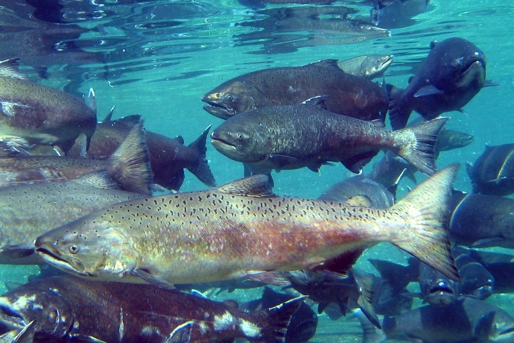 Conservation News: We might be too late for the damn dams and Chinook